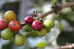 Coffee-tree. Guatemala coffee royalty free stock photo