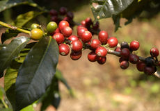 Coffee-tree guatemala Stock Images