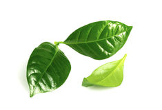 Coffee tree leaves isolated on white Royalty Free Stock Photos