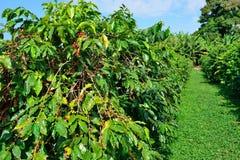 Free Coffee Tree Loaded With Ripe Coffee Fruit In Hawaii Stock Photo - 135893430