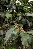 Coffee tree nearby a coffee farm in a mountain area of the Colombia coffee region royalty free stock photos