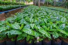 Coffee tree nursery. Arabica coffee tree nursery plantation Royalty Free Stock Images