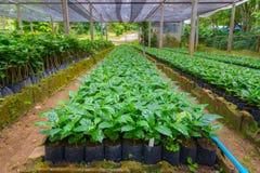 Coffee tree nursery Royalty Free Stock Image