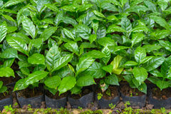 Coffee tree nursery. Arabica coffee tree nursery plantation Stock Images