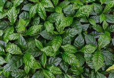 Coffee tree nursery. Leaves of arabica coffee tree nursery plantation Stock Photo