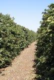 Coffee tree plantation Stock Images
