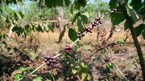 Coffee tree plantation,close up,Laos stock video