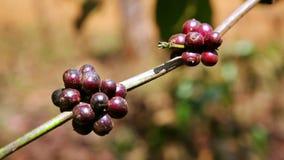 Coffee tree plantation,close up,Laos stock video footage