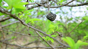 Coffee tree plantation,close up,Laos stock footage