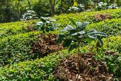 Coffee tree plantation farm Royalty Free Stock Photos