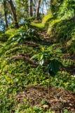 Coffee tree plantation farm Royalty Free Stock Image