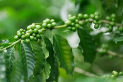 Coffee tree plantation Royalty Free Stock Photography