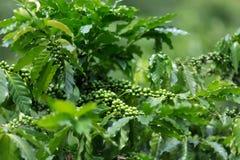 Coffee tree plantation Stock Photo