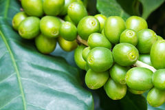 Coffee tree with raw berries2 Royalty Free Stock Photos