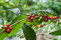 Coffee tree with ripe berries Stock Image