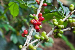 Coffee tree with ripe berries Stock Photos