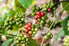 Coffee tree with ripe berries Stock Images