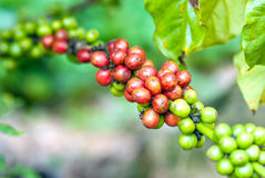Coffee tree with ripe berries Royalty Free Stock Images
