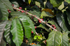 Coffee tree with ripe berries on farm Stock Photo