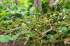Coffee tree with ripe berries on farm, Bali island Royalty Free Stock Photos