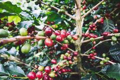 Coffee tree with ripe berries on farm. Stock Photography