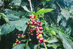 Coffee tree with ripe berries on farm. Royalty Free Stock Images