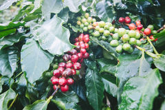 Coffee tree with ripe berries on farm. Royalty Free Stock Photography