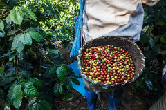 Coffee tree with ripe berries on farm. Royalty Free Stock Photo