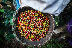 Coffee tree with ripe berries on farm. Royalty Free Stock Image