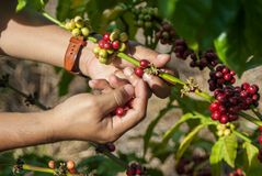 Coffee tree with ripe berries. On hands Royalty Free Stock Photos