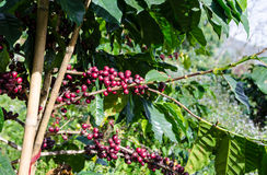 Coffee tree with ripe. Royalty Free Stock Photography