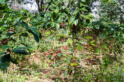 Coffee tree with ripe. Stock Photos