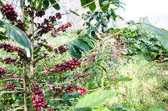 Coffee tree with ripe. Royalty Free Stock Photos