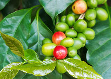 Coffee tree with ripe and raw berries. On the branch Stock Photography