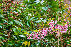 The coffee tree and Wild Himalayan Cherry Stock Images