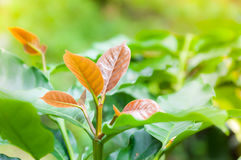 Coffee tree young leaf,leaves of arabica coffee tree nursery plantation. Of farm Coffee Northern Thailand Stock Images