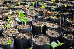 Coffee tree. Young coffee Tree in Nursery Bags Royalty Free Stock Photography