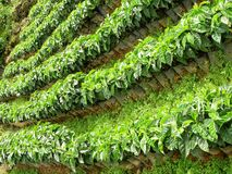 Coffee Trees Stock Photos