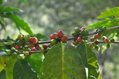 Coffee trees. Royalty Free Stock Photos
