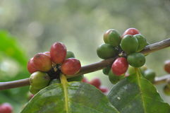 Coffee trees. Royalty Free Stock Images