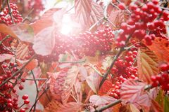 Coffee trees in autumn Stock Images