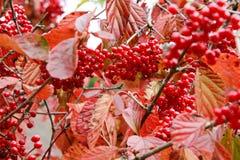 Coffee trees in autumn Stock Photos