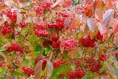 Coffee trees in autumn Stock Image