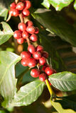 Coffee trees Royalty Free Stock Photo