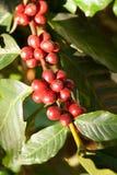 Coffee trees Royalty Free Stock Photo