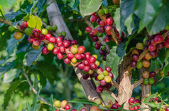 Coffee  trees Royalty Free Stock Photography