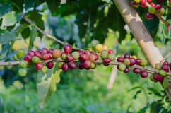Coffee  trees Royalty Free Stock Image