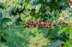 Coffee  trees Stock Image