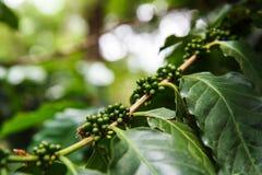 Coffee trees Stock Photos