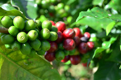 Coffee trees in garden Stock Image